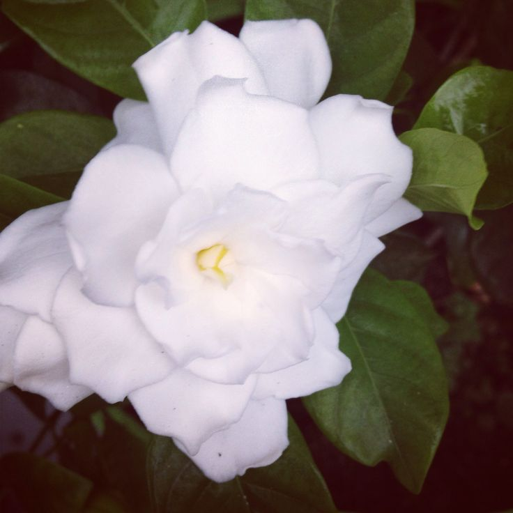 My 2nd year bloom!! Love gardenias.