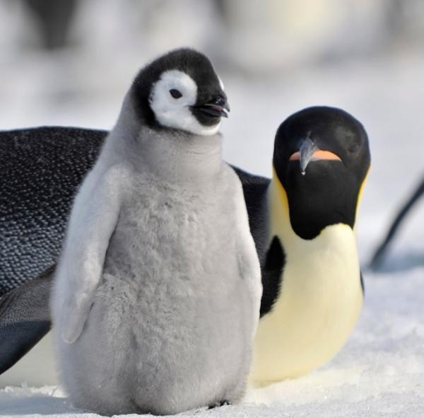Tipos de pingüinos - ExpertoAnimal