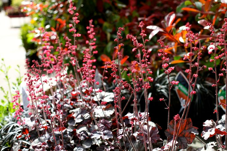 Heuchera 'Hollywood' - Dense spikes of coral red blooms are produced from late Spring through to summer above silver veiled, lightly ruffled foliage. The low mounding habit makes it excellent for edging along paths or in containers. H 30cm. Prefers full sun or partial shade