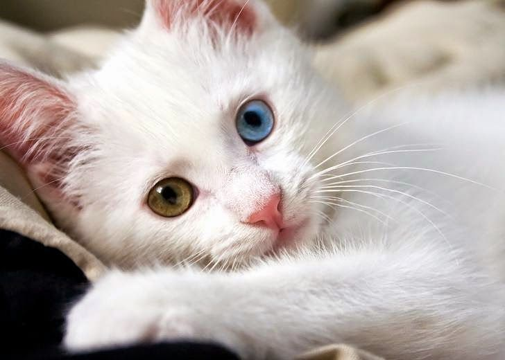 Top 10 Best Cat Breeds For Kids
