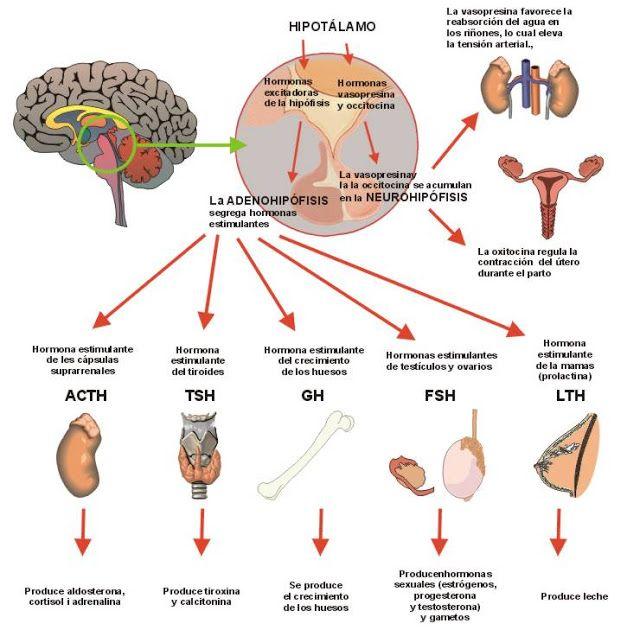 8 best Sistema endocrino images on Pinterest   Hormonas, Sistema ...