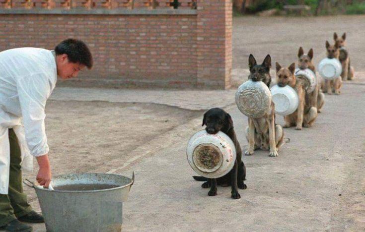 En China, perros policía haciendo fila para recibir su comida.