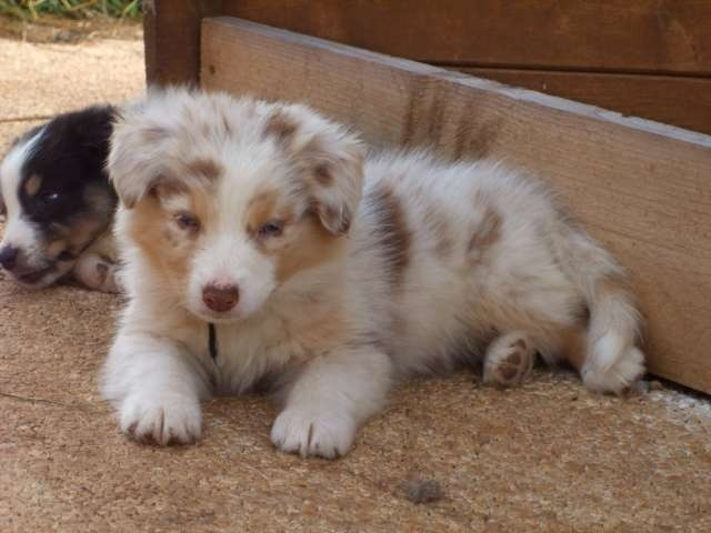 omg I need to go pick up this puppy right now! I can't wait to get my red merle puppy!!