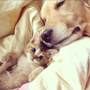 In August, the world lost Wasabi-chan, a small kitten who needed lots of love. This left her best buddy, Ponzu, without someone to look after. | An Inspiring Friendship Between A Golden Retriever And A Kitten