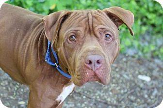 Bellevue, WA - American Pit Bull Terrier Mix. Meet Mowgie, a dog for adoption. http://www.adoptapet.com/pet/15683822-bellevue-washington-american-pit-bull-terrier-mix