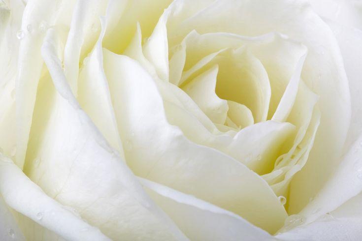 Fotobehang: Witte Roos