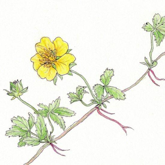 365 days - 365 flowers  10. August 2016 // Potentilla reptans (Kriechendes Fingerkraut) // locality: meadow in Rangsdorf #paintedflowers #summer #flower #weed #blumenmalen #blumen #unkraut #sommer #drawingaday #365 #365days #365daysproject
