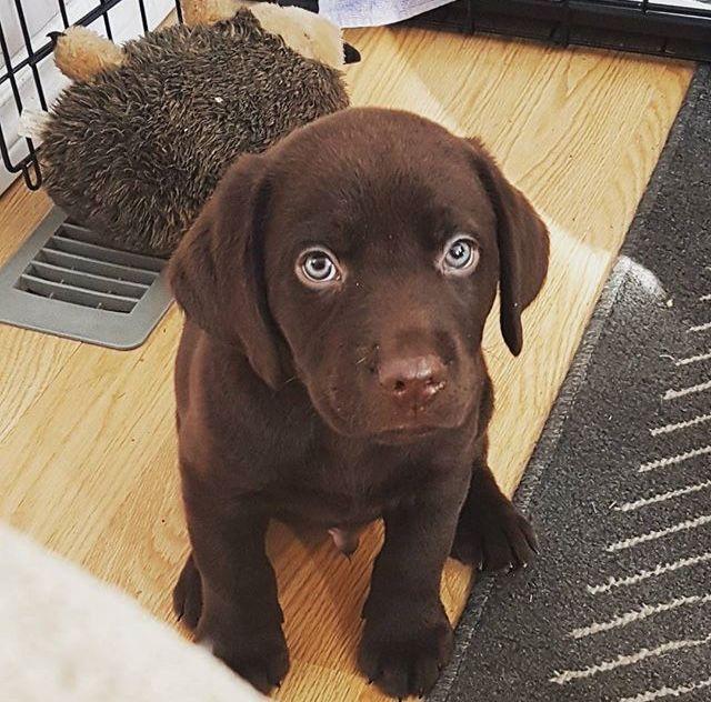 Chocolate Lab Puppy 8 Weeks Chocolate Lab Puppies Black Labrador Puppy Labrador Puppy