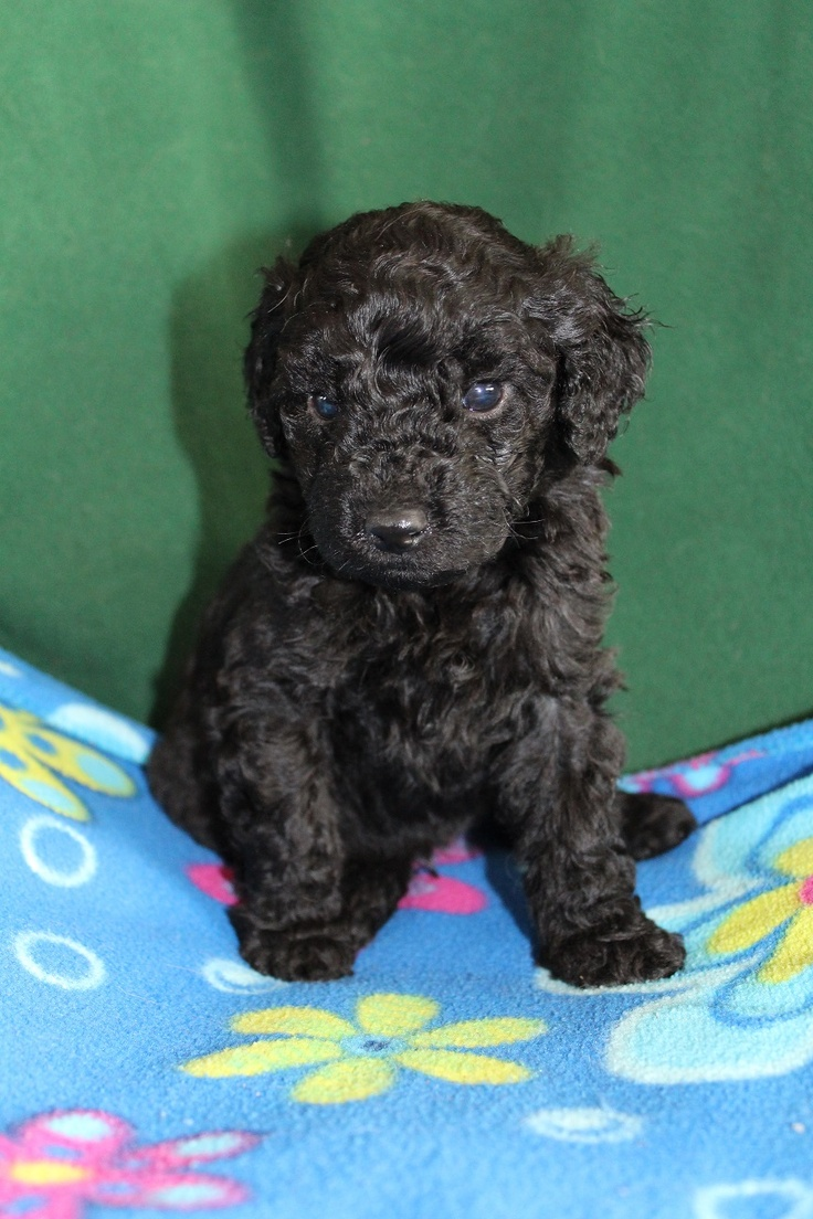1000+ images about F1b Mini Goldendoodles on Pinterest