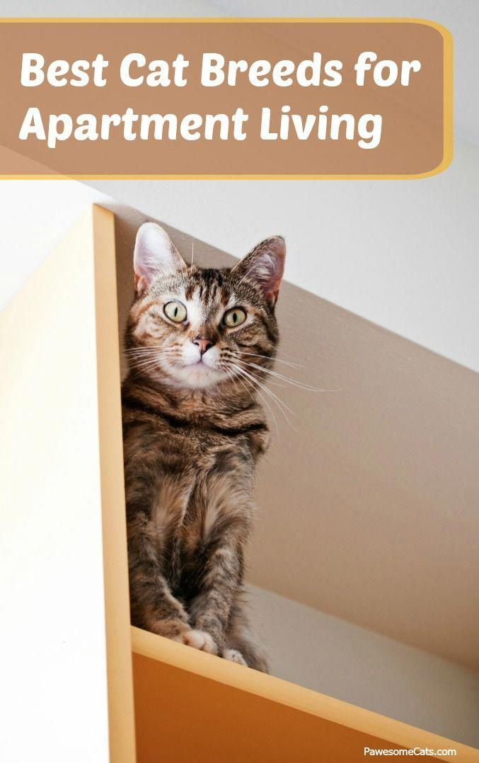 Cats Can Be A Great Choice For Apartment Living They Easily Adapt To An Indoor Lifestyle And Make The Purrfect Pet For Pe Best Cat Breeds Cat Care Cat Breeds
