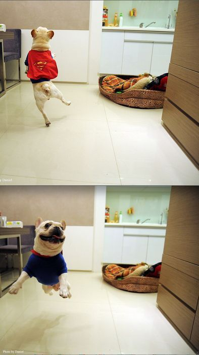 I eated a ballerina.: Dogs Beds, Super Frenchi, Super Dogs, Happy Dance, French Bulldogs, Happy Puppys, Pugs Dogs, Being Happy, Happy Dogs