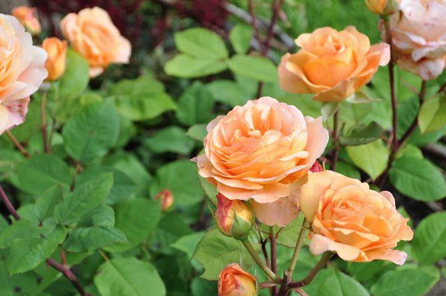 Drømmen om en rosehage