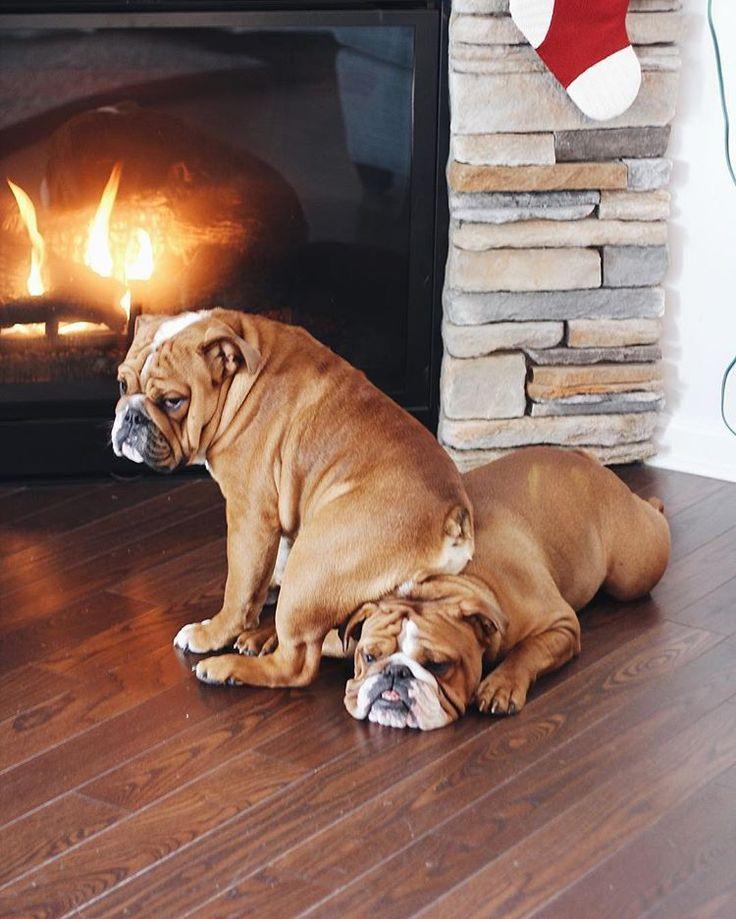 "1,048 Beğenme, 20 Yorum - Instagram'da English Bulldog Fab Club (@english_bulldog_fan_club): ""How many Bulldogs do you have? via @louieandhenry We've got a SPECIAL offer for Bulldog Lovers…"""