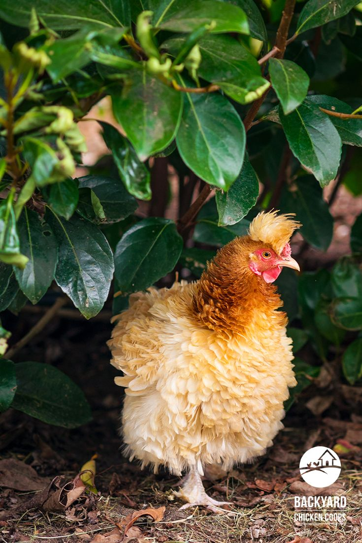 30 best frizzle chickens images on pinterest frizzle chickens