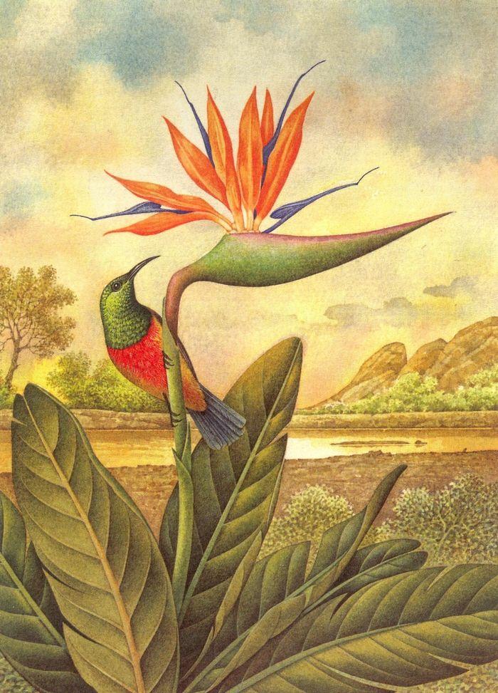 Stelirizia Reginae e Nectarina Regia (Sud Africa)