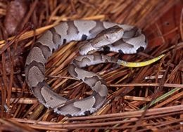 The top of the Copperhead's head is unmarked. It has a pit on each side of its face, which is used to help it detect bodyheat from prey. Young Copperheads have a yellow-tipped tail. They use this as a lure to attract small animals, such as frogs. Copperheads are usually found in wooded areas among rocks, or at the edges of streams or ponds. They are good swimmers. This snake can be seen during the day during Spring or Fall, but in Summer they are mostly nocturnal.
