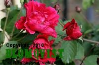 Rosa `Morden Amorette`, Höjd 0,4-0,6 m UrsprungslandFinland/Kanada ZonIV VäxtlägeSolig plats  Rosor på egen rot En av de mest kompakta och kontinuerligt blommande buskrosorna. Denna karminröda vackra ros introd. 1977. Blommen blir 7-8 cm i diameter och sitter i grupper om 25-30 st. Relativt frisk sort. Ta bort utblommade blom för längre blomning.