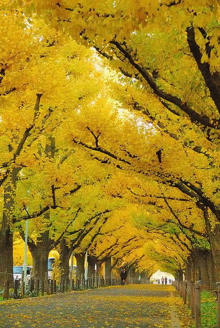The Ginko Avenue in Jingu, Tokyo. I love the Ginkos!  // Great Gardens & Ideas //