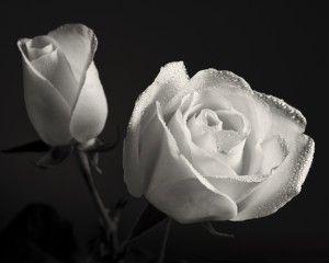 White Roses On Black Background HD Wallpaper