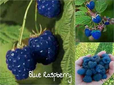 10-BLUE-Raspberry-Seeds-Rubus-Leucodermis-Sweet-Fruit-Tasty-Garden-Plant