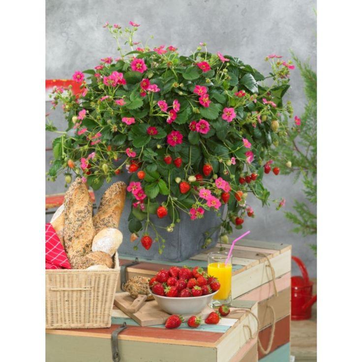 Remonterande jordgubbe 6-pack - Plantagen.se