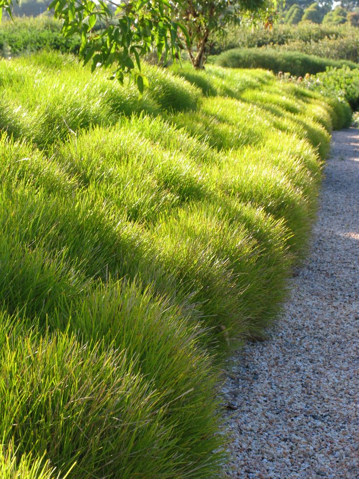 Lomandra. Saw these in Redding, and they are the most lovely vibrant green. Australian native. Drought tolerant.