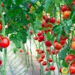 Καλλιέργεια ντομάτας σπορά φύτευση λίπανση συγκομιδή οδηγίες περισσότερα στο : http://www.helppost.gr/how-to/khpos-veranta/ntomata-kalliergeia/