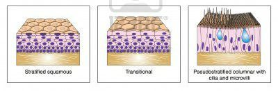 Stratified epithelia is more than one cell layer. There are squamous cells (squish like), cuboidal cells (cube-shaped), & columnar cells (column like). All have nucleus & basement membrane.