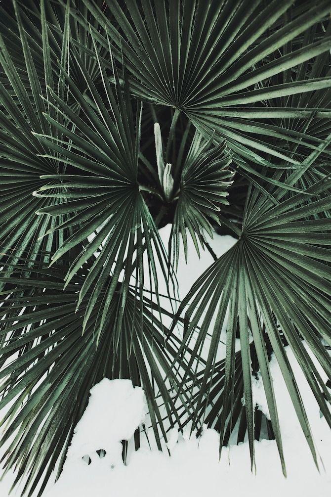 Palm in the snow - so strange!