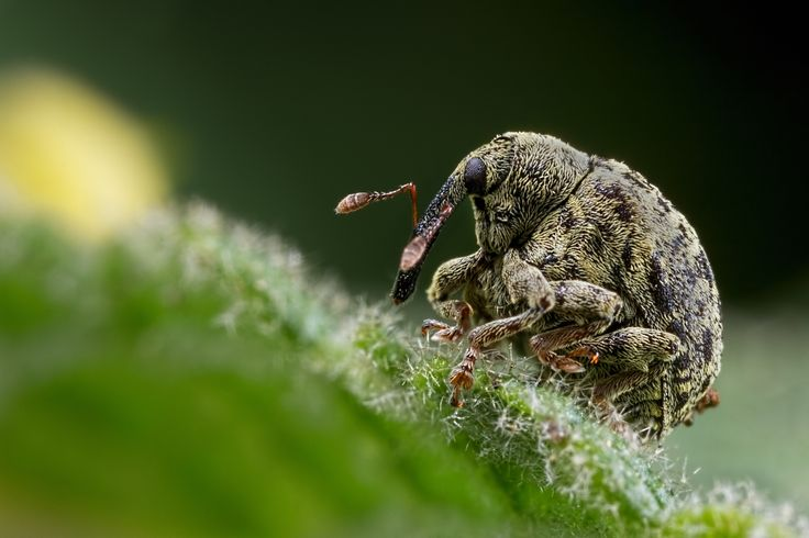 """The Resting Weevil - The Resting Weevil  2 images stacked in Helicon Focus of a tiny Weevil resting on a nettle leaf.  Taken at Blashford Lakes Nature Reserve, Ellingham, United Kingdom   <a href=""""http://www.macro-photo.co.uk"""">WEBSITE</a>  <a href=""""https://www.facebook.com/macrophoto.photography"""">FaceBook</a>"""
