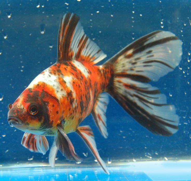 Shubunkins, hardier than the SUPER FANCY goldfish