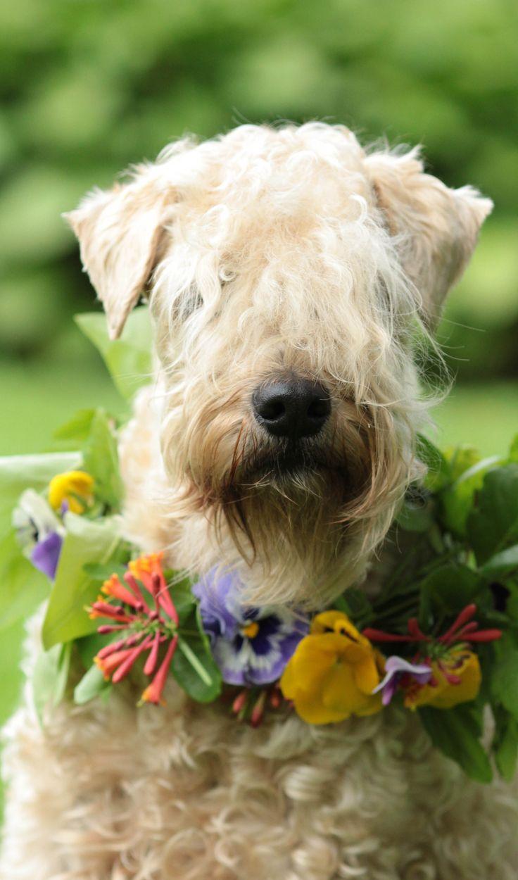 Soft Coated Wheaten Terrier | Wheaten terrier | Pinterest