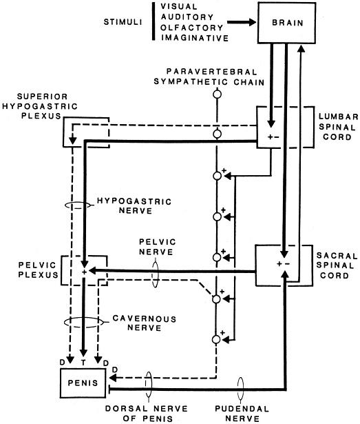 steroidogenic pathways chart