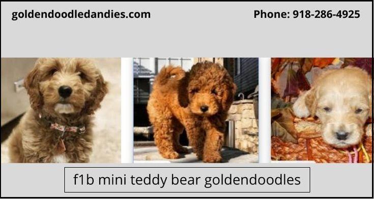 F1b mini teddy bear goldendoodles for sale goldendoodle