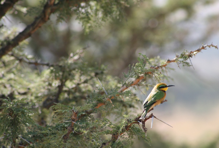 adorable little bee eater