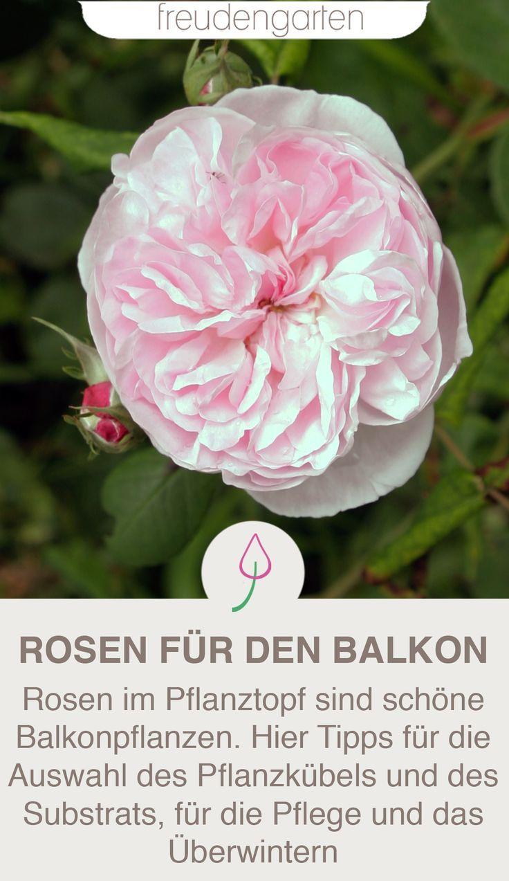 Rosen Im Pflanzkubel Richtig Pflegen Dungen Uberwintern Und Giessen Pflanzen Balkon Pflanzen Rosen Pflanzen