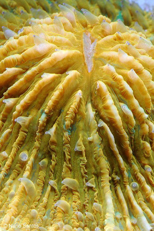 Coral (fungia)