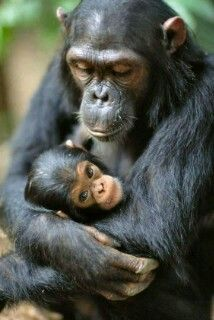 Chimp Mother With Infant Affen Aller Art Pinterest