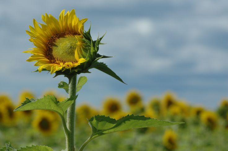 sunflowers in Quebec