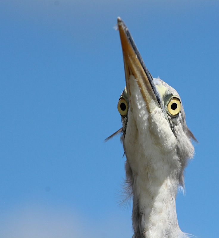 Grey heron thinking.