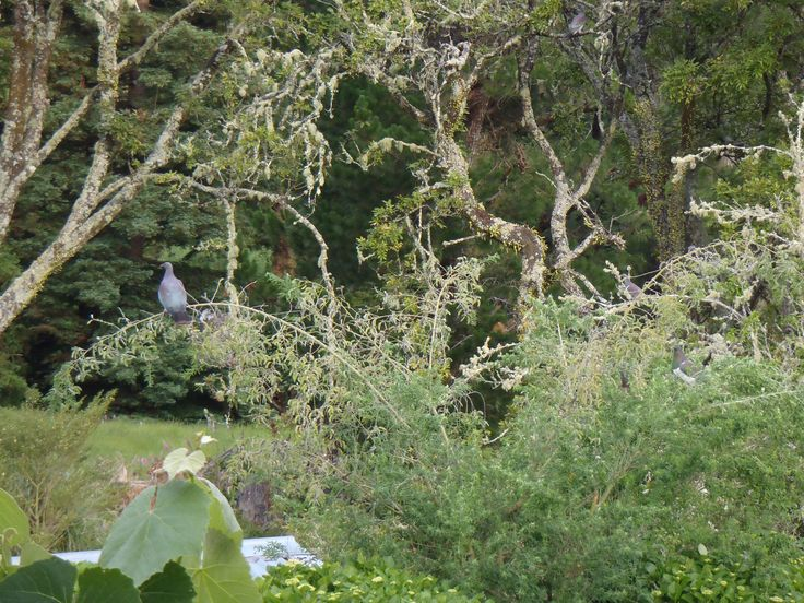 A Kereru (wood pigeon) relaxing in the tree lucern