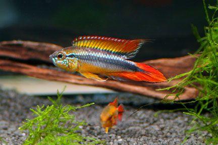 46 best aquarium vissen images on pinterest aquariums for Best freshwater aquarium fish combination