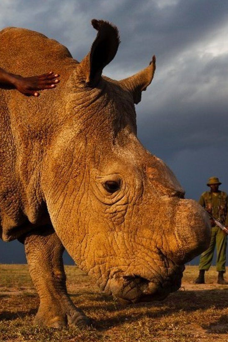 World's+Last+Male+Northern+White+Rhino+Placed+Under+24-Hour+Armed+Guard+In+Kenya