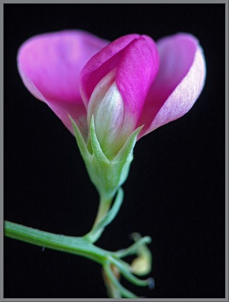 sweet pea the pin cave pinterest tattoo