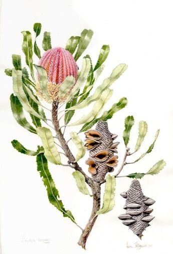 DVD 2: Botanical illustration volume 2 | Helen Fitzgerald - Botanical & Wildlife artist | Helen Fitzgerald