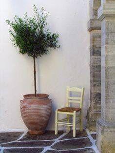 Greek Olive Tree in pot