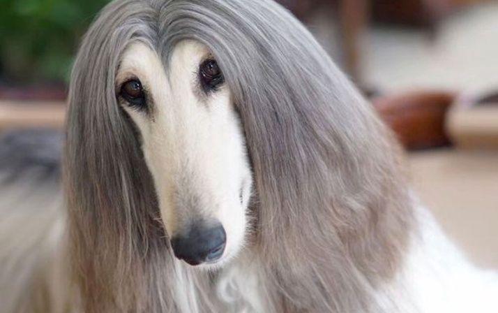 Pin De Alba Salazar En A Perros Rat Terrier Dachshund De Pelo Largo Venta De Perros