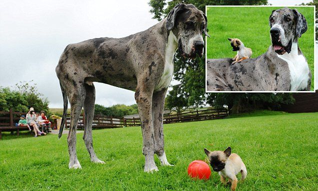 Great Dane thought to be world's tallest meets Britain's smallest dog