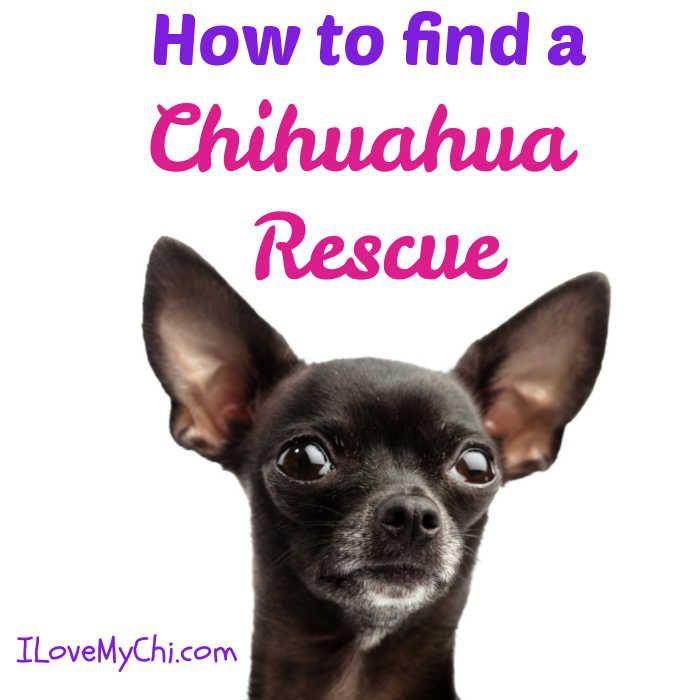 How To Find A Chihuahua Rescue Chihuahua Rescue Chihuahua