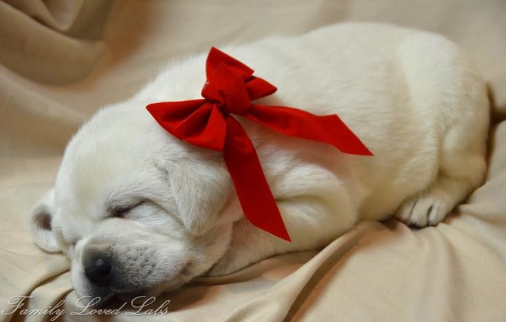 Beautiful, blocky, gorgeous, sweet, calm, English Lab. Christmas Puppy. Celebrate with a White English Lab Puppy from Family Loved Labs.